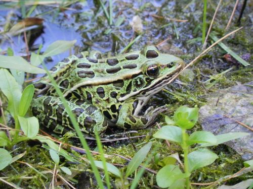 2011-07-08 Frogs 008