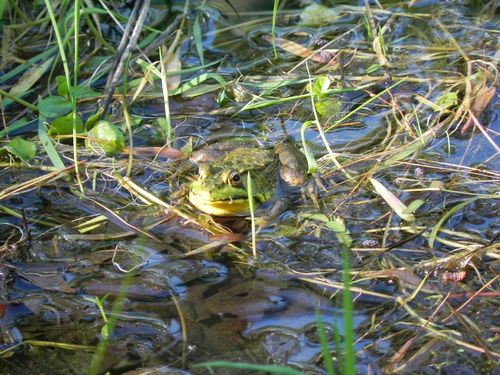 2011-07-08 Frogs 031